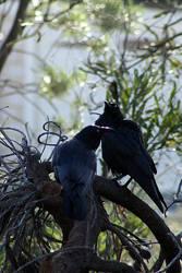 Australian Raven pair by Ravenari