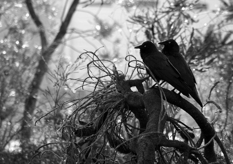 Australian Raven pair 02 by Ravenari