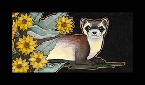 Black Footed Ferret And Arrowleaf Balsamroot