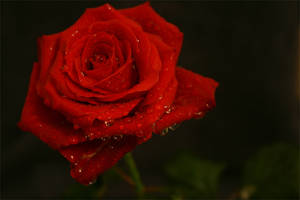 rose, red by dif89