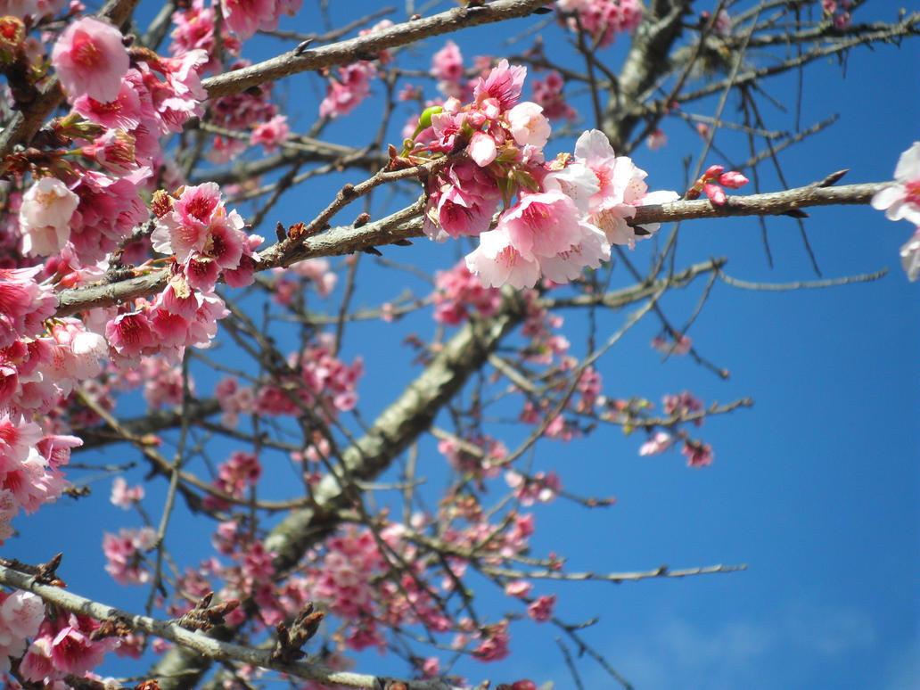 Cherry Blossom by NAKYOKIAMI