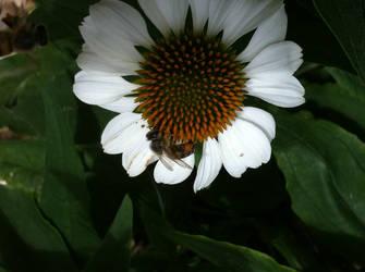 Bee on Flower 2 (Spring 2017) by Reybert