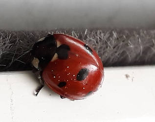 1st Ladybird of 2018...lucky charm in France !! by Reybert