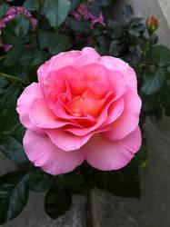 Paradise Rose from my Garden (Summer 2017) by Reybert