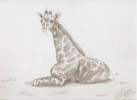 Girafa Reticulada