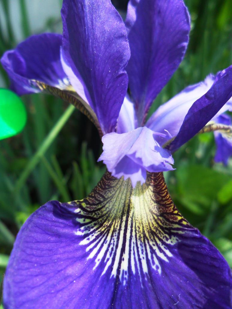 Violet Iris by LoZeldaFan