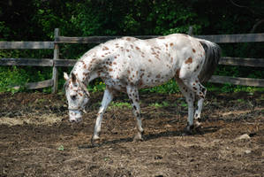 Appaloosa 63 by Spotstock