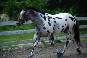 Appaloosa 87 by Spotstock