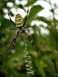 Garden spider I by leilani-m