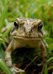 toad in grass 3
