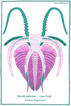 Marrella splendens