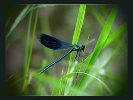 Dragonfly by shutterlight