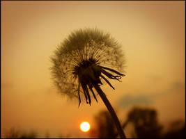 Sleeping Dandelion by shutterlight