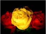 Dark Roses...