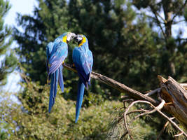 kissing parrots by r-baumgartner