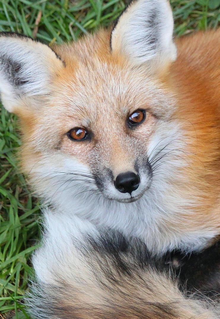 Fox by bydandphotography