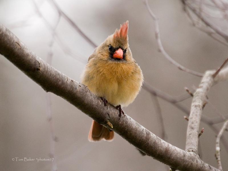 cold cardinal female by photom17