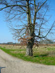 Tree On Corner Of Field - Spring