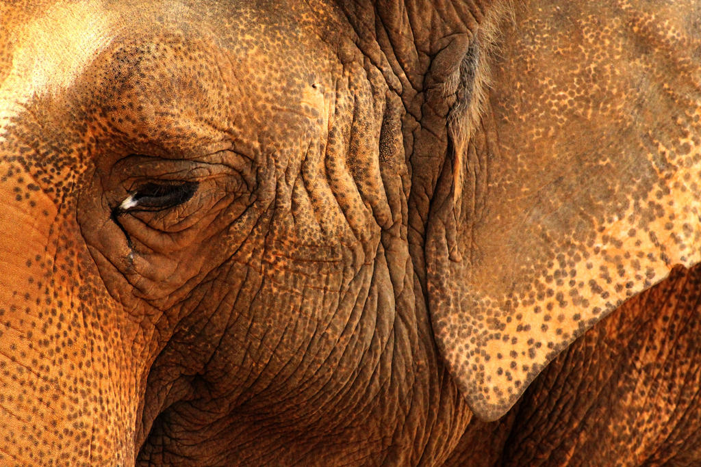 Asian Elephant by daughterdragon