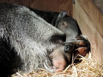 Sleepy anteater by Shippochan1000