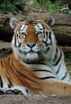 World Tiger day by Shippochan1000