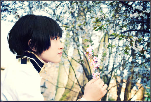 APH:Cherry Blossoms from Japan