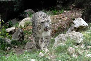 snow leopard 003 by neverFading-stock