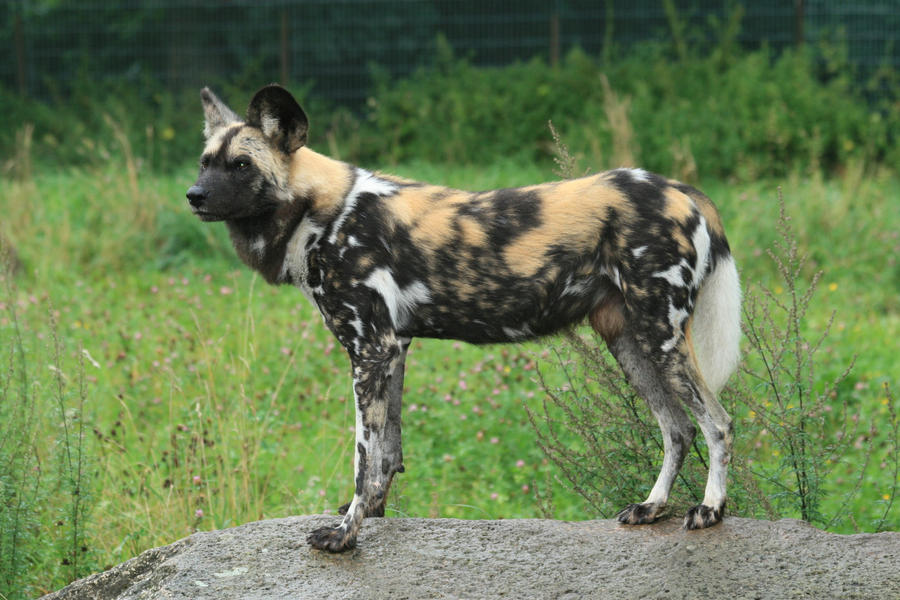 African Wild Dog Stock by ~neverFading-stock