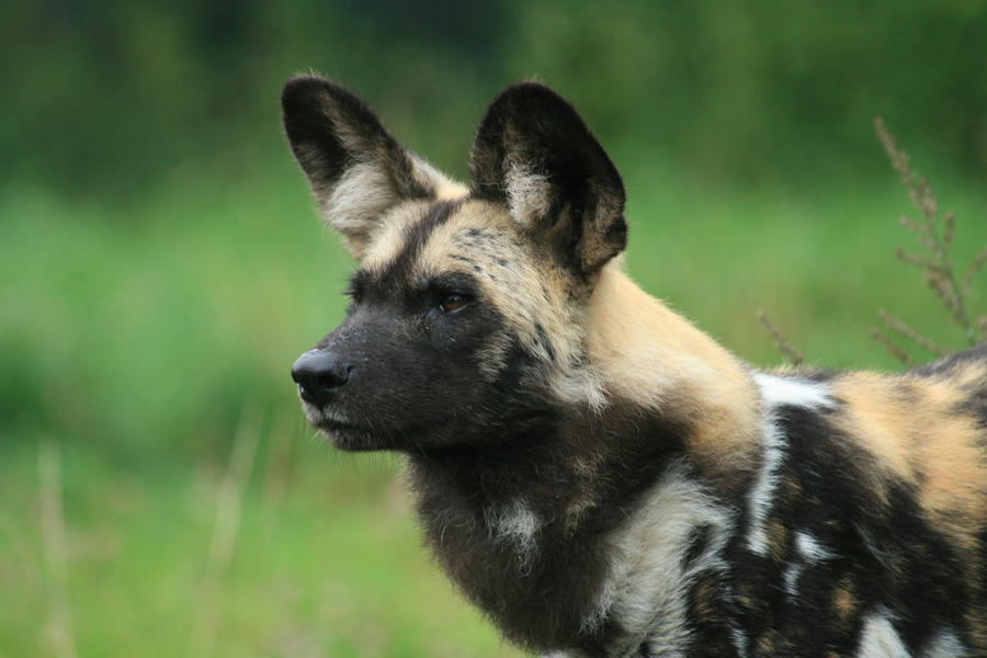 African Wild Dog Stock 2 by neverFading-stock