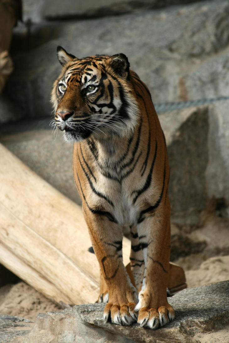 Tiger 001 by neverFading-stock