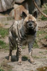 Hyena 001 by neverFading-stock