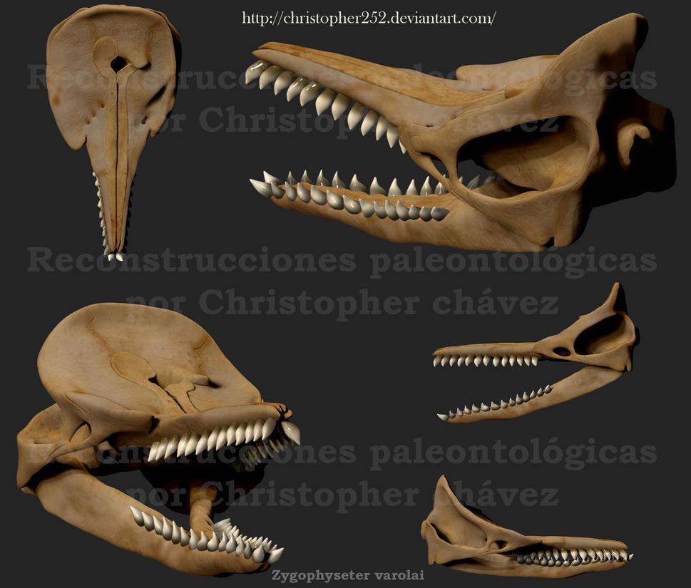 http://pre06.deviantart.net/e6d9/th/pre/i/2014/228/7/4/skull_zygophyseter_varolai_by_christopher252-d7vcz3z.jpg