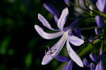African Agapanthus