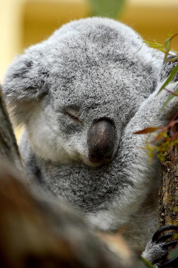 Sleepy Koala by roarbinson
