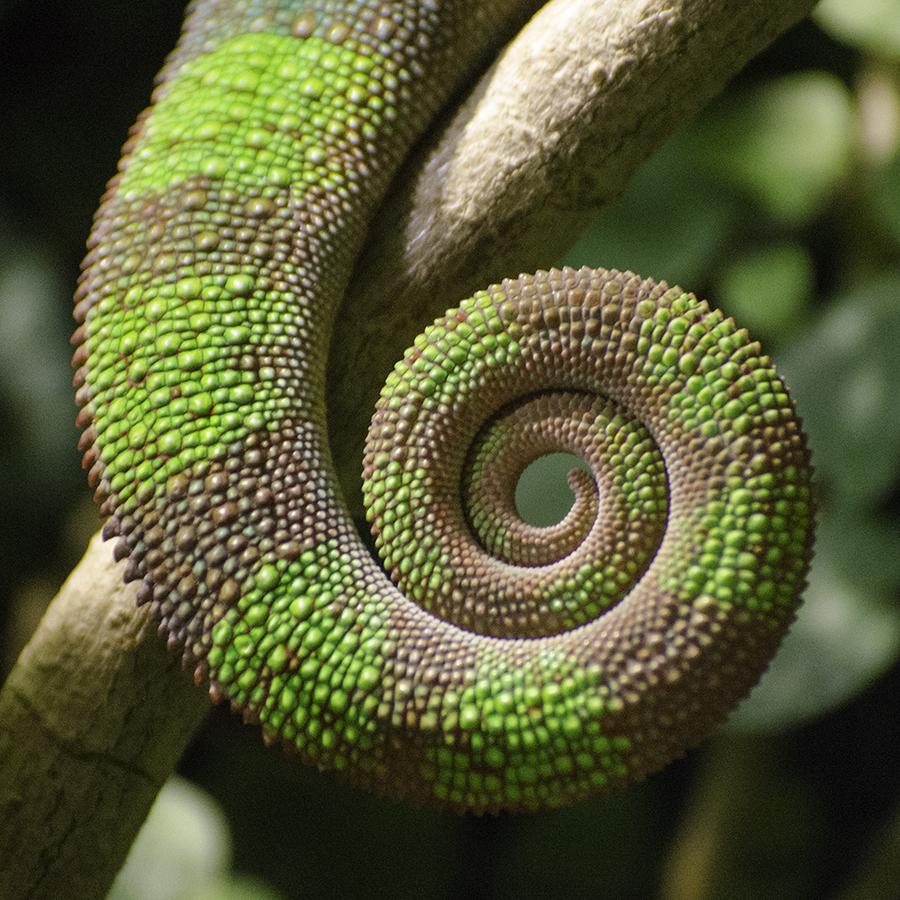 Chameleon Tail By Roarbinson On DeviantArt