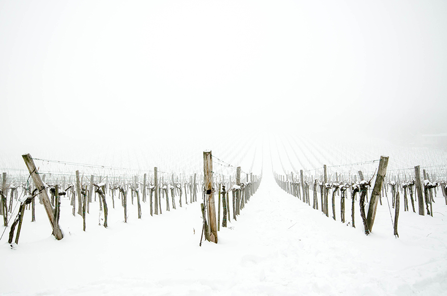 Snowfog Vineyard by roarbinson