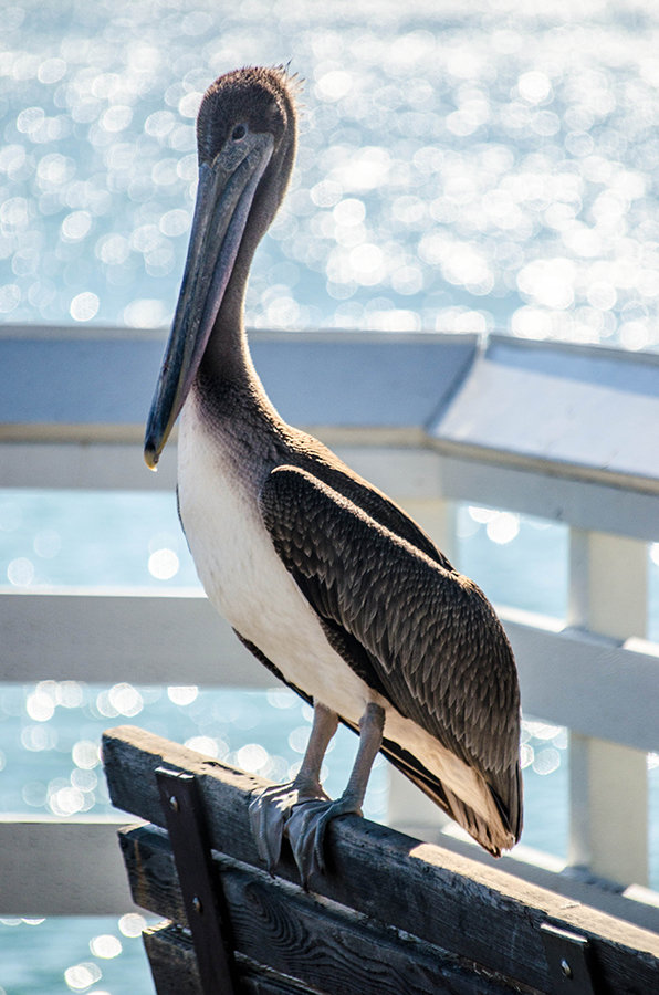 Pelican by roarbinson