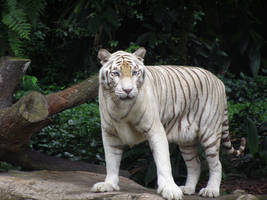 White tiger 6 by sbmdestock