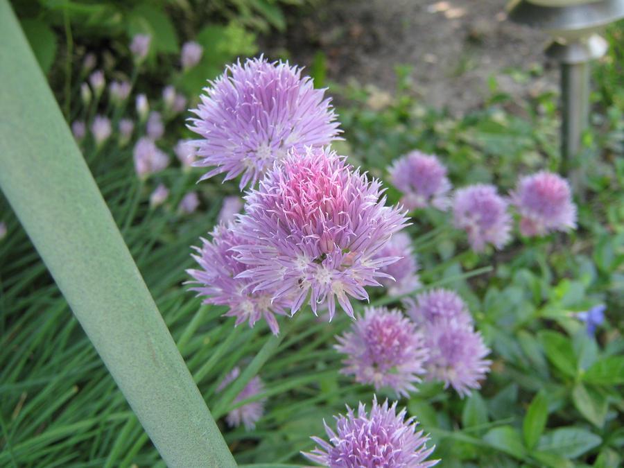 Fuzzy purple flower by skybound1000 on deviantart fuzzy purple flower by skybound1000 mightylinksfo