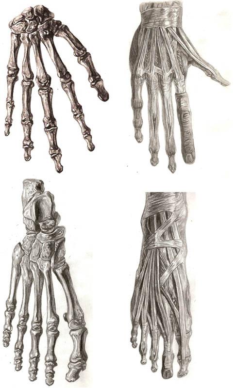 Hand And Feet Anatomy Study By Dellanova On Deviantart