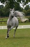 trotting gray