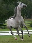 gray arabian canter
