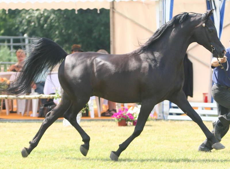 Erosaf's Tracker (updated nov 13) Black_Stallion_I_by_Jello88