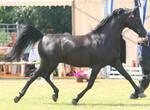 Black Stallion I