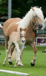 Haflinger mother and foal