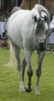 Gray Arabian Walking