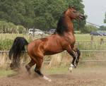 Brown Arabian Rearing