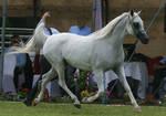 Grey Arabian Trotting II