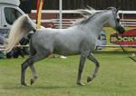 Grey Arabian Trotting III