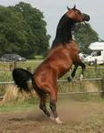Brown Arabian Rearing II